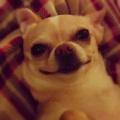Dog Chihuaha 08192013