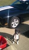 Dog Nyla car 08192013